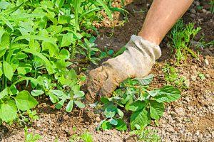 weeding-garden-5473992